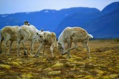 Caribou in Gros Morne National Park. Caribou Herd  in Gros Morne National Park Royalty Free Stock Images