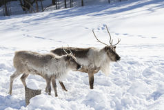 Caribou standing in the snow Stock Photography