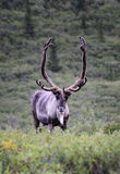 Caribou stare. A caribou makes his way towards the photographer across the tundra in Denali national park Stock Photography