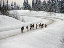 Caribou sur la route Photo stock