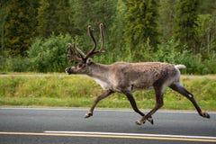 Caribou sur la rue Finlande Photographie stock