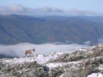 Caribou sur Xalibu 2 Stock Photography