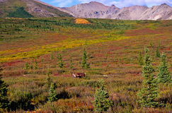 Caribou at the tundra stock photo