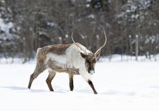 A Caribou walking in the snow in Canada. A large Caribou walking in the winter snow in Canada royalty free stock photos