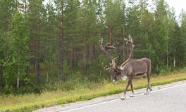 Caribou walking on street Stock Photography