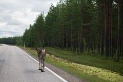 Caribou walking on street Royalty Free Stock Photo