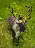 Caribou. Walking in the summer royalty free stock image