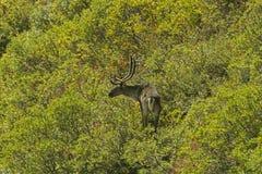 Caribou Walking Through the Willows Stock Photo