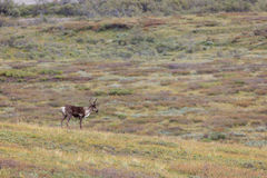 Caribou wanders on tundra. Closeup of Caribou with antlers wandering on tundra Royalty Free Stock Images