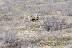 Caribou in the Wild Stock Photography