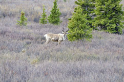 Caribou in the Wild #2 Royalty Free Stock Photo