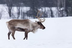 Caribou in a  winter scene Royalty Free Stock Images