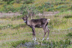 Caribou. A young caribou in Denali National Park royalty free stock photography