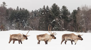 Cariboui i en vinterplats Royaltyfri Bild