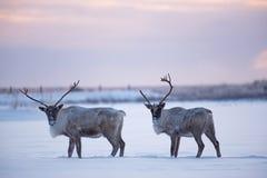 Caribous de région boisée de mâles Photographie stock