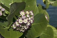 The Caribs. Tropical flowers. Hoya. Flowers of the Caribbean Islands Stock Photos