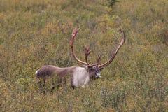 Caribu Bull na queda fotografia de stock royalty free