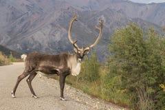 Caribu Bull que está na estrada em Denali N P fotografia de stock