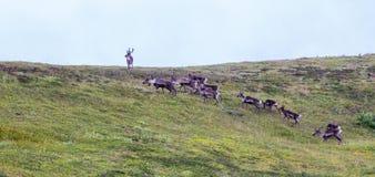 Caribu da Estéril-terra foto de stock royalty free