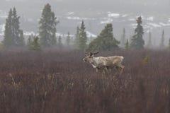 Caribu no parque nacional de Denali fotos de stock royalty free