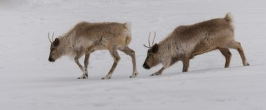 Caribu que anda nos pares na neve fotografia de stock royalty free