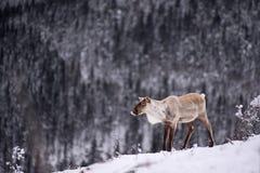 Caribu solitário foto de stock