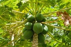 Carica árvore de fruta do pawpaw da papaia Fotografia de Stock Royalty Free