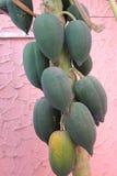 Carica папапайя, папапайя Стоковое Фото