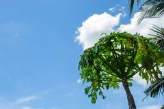 Carica de bomen die van de papajaregen groen domein kweken stock foto