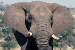 Carica dell'elefante Immagini Stock