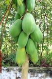 Carica papaia Fotos de Stock Royalty Free