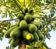 Carica Papaya stockfoto
