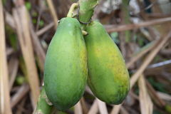 Carica Papaya auf meinem Baum in Ocala, Florida Stockbild