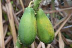 Carica Papaya  on my tree in Ocala, Florida Stock Image
