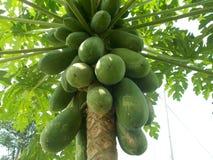 Carica papaya sur l'arbre Images libres de droits