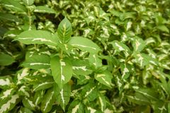 Caricature plant or Graptophyllum pictum. In the green garden Royalty Free Stock Photo