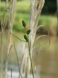 Carice che cresce da uno stagno in Oklahoma, verde-cupo Fotografia Stock