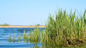 Carice dell'erba sulla riva di un lago fotografie stock