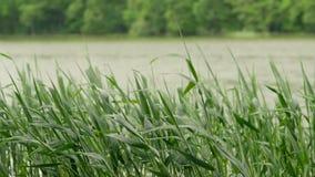 Carici, canne verdi ed erba ondeggianti nel vento video d archivio