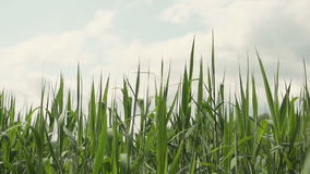 Carici, canne verdi ed erba ondeggianti nel vento archivi video