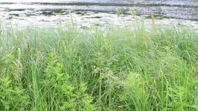 Carici, canne verdi ed erba ondeggianti nel vento sul lago con un fondo vago stock footage