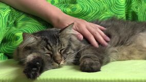 Caricia de un gato de gato atigrado largo nacional del pelo almacen de video