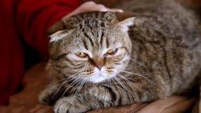 Caricia femenina de la mano un gato de la raza escocesa que miente en el sofá almacen de metraje de vídeo
