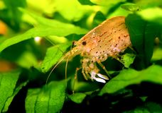 Caridina japonica Royalty Free Stock Images