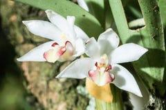 Carinata d'Eria de forêt tropicale photos stock