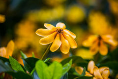 Carinata Wallich di Gardenia Fotografie Stock
