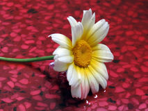 Carinatum Flower. White and yellow Carinatum Flower on a wet floor Royalty Free Stock Photo