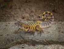 carinatus Encaracolado-atado de Leiocephalus do lagarto imagem de stock