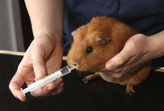 Caring for aa ginea pig. Veterinary Nurse holding and feeding Guineapig through a syringe Stock Photos