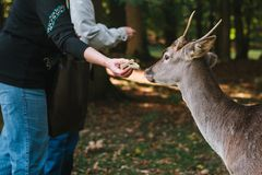 People feed the deer in the forest. Caring for animals. Caring for animals. People feed the deer in the forest Royalty Free Stock Image
